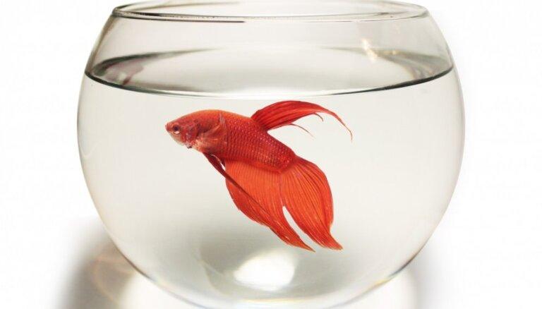 Lai bērnam nav jāraud jeb Kā nenogalināt zivtiņu gailīti