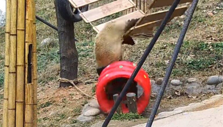 Video: Pandu lācis ampelējas un izkrīt no šūpolēm