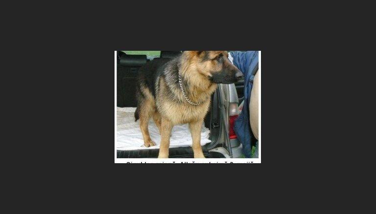 Pazudis vācu aitu sugas suns