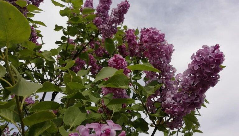 Foto: Dobelē sācies aromātisko ceriņu ziedēšanas laiks
