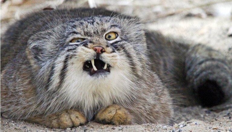 Foto: Manuls – kaķis ar izteiksmīgākajām un komiskākajām grimasēm