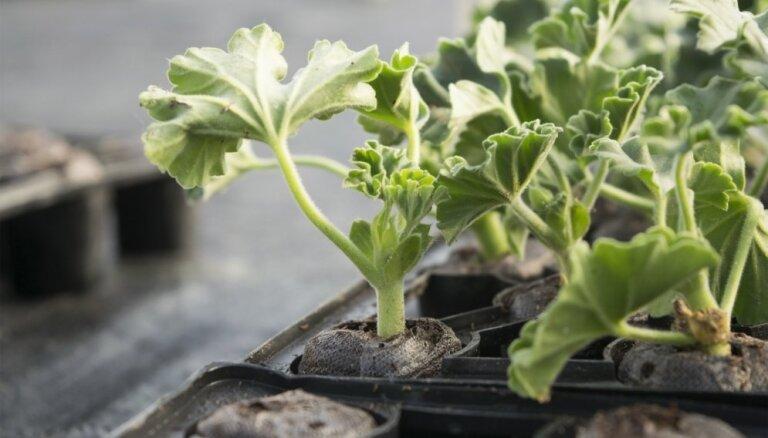 Nepirkt jaunu, bet izmantot esošo – kā pavairot iecienītos augus