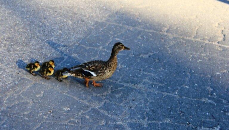 Foto: Pīļu saime pastaigājas Jelgavas centrā