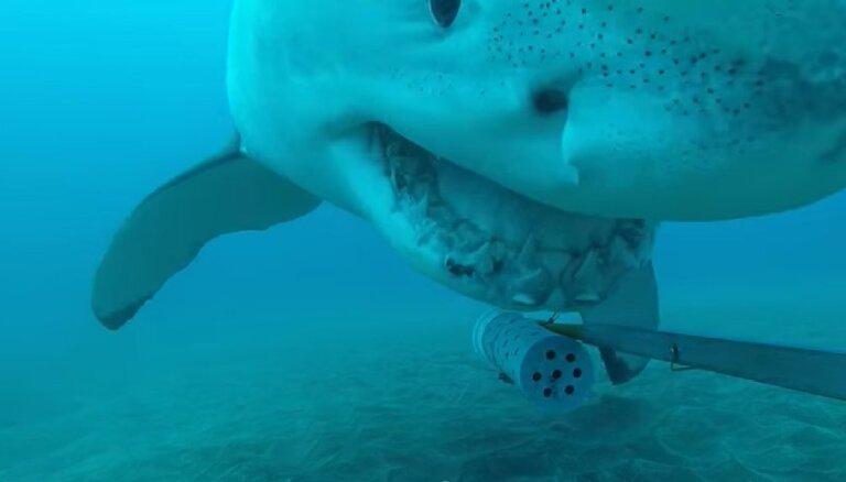 Video: Lielā baltā haizivs Kermits spēlējas ar kameru