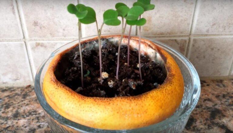 No čaumalām un citrusaugļiem: neparastas idejas dēstu audzēšanas traukiem
