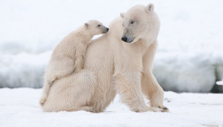 В Китае начал работу отель с белыми медведями