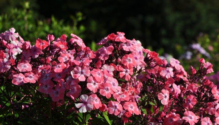 ФОТО: В Национальном ботаническом саду в Саласпилсе вовсю цветут флоксы