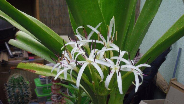 Pieredzes stāsts: kā no Marokā atrasta 'riekstiņa' septiņu gadu laikā izauga puķe