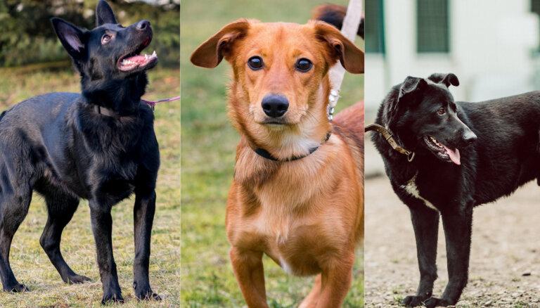 Mersītis, Kūpers un Grizlijs. Trīs lādzīgi suņu puikas meklē mājas