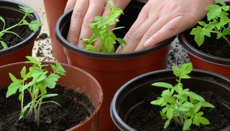 Pašu audzēti tomātu stādi – labākais laiks sējai un kā nepieļaut iesācēju kļūdas?