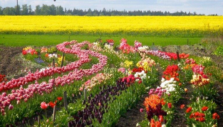 Foto pastaiga pa skaistu tulpju dārzu Tērvetē