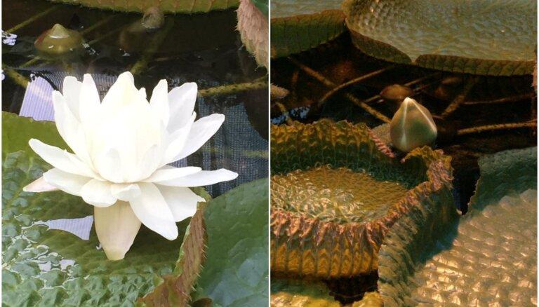 Botāniskajā dārzā uzplaukusi Viktorijas ūdensroze; šonedēļ ziedēs otrs zieds
