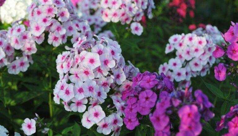 Puķu dobju plānotājs: augi, kuriem jābūt katrā krāšņā dārzā