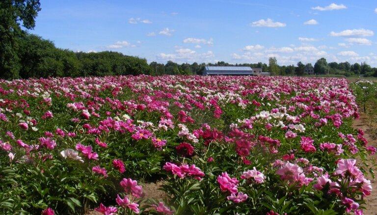 Septiņi dārzi Latvijā, kur pašlaik izbaudīt peoniju ziedēšanu