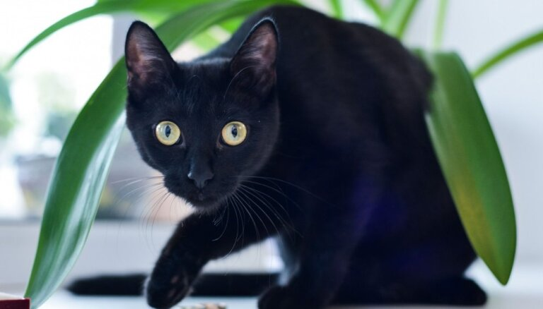 Desmit mīlīgi kaķīši, kurus atcerēsies īpatnējā izskata dēļ