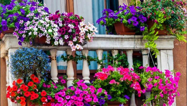 Balkonpuķu skaistākās kombinācijas un kopšanas padomi