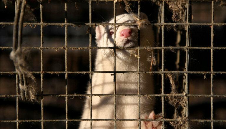 Par dzīvnieku labturības pārkāpumiem 'Baltic Devon Mink' sāk sešus procesus