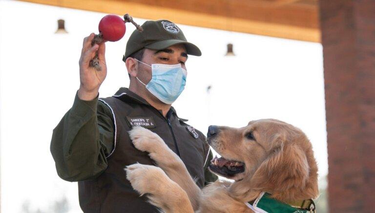 Čīle trenē suņus Covid-19 saošanai