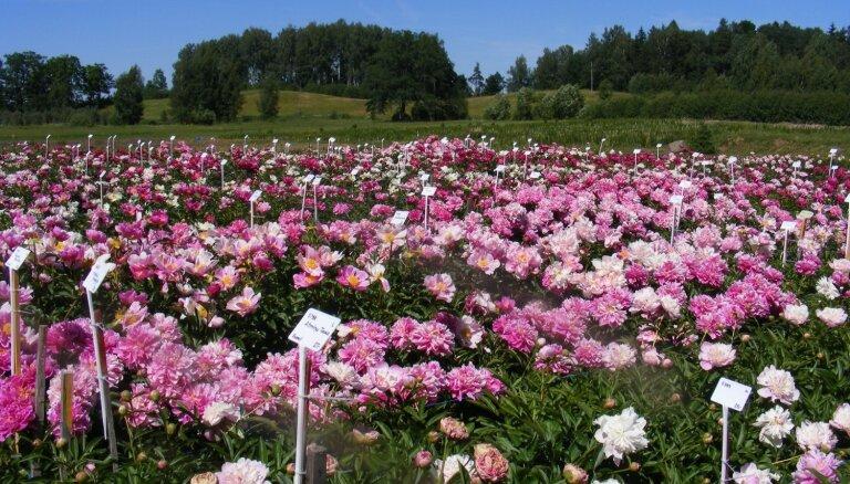 ФОТО. Семь мест в Латвии, в которых можно полюбоваться на цветущие пионы