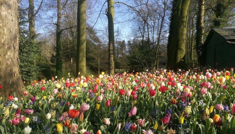 Tulpju dārzs Briseles pievārtē, kas var konkurēt ar slaveno Keikenhofu