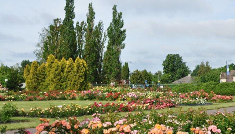 Foto: Nacionālajā botāniskajā dārzā krāšņi zied rozes