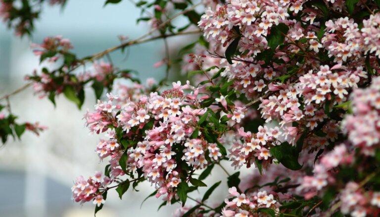 Iesaka eksperte: astoņi mazāk zināmi, bet skaisti košumkrūmi dārzam