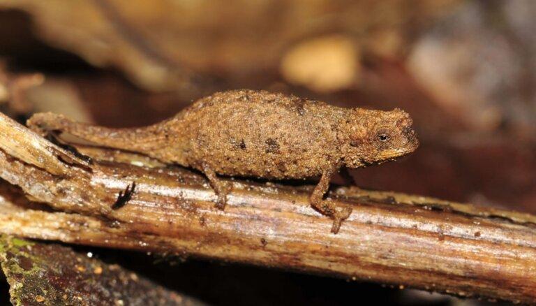 Sēklas lielumā – Madagarskarā atrasts pasaulē mazākais rāpulis