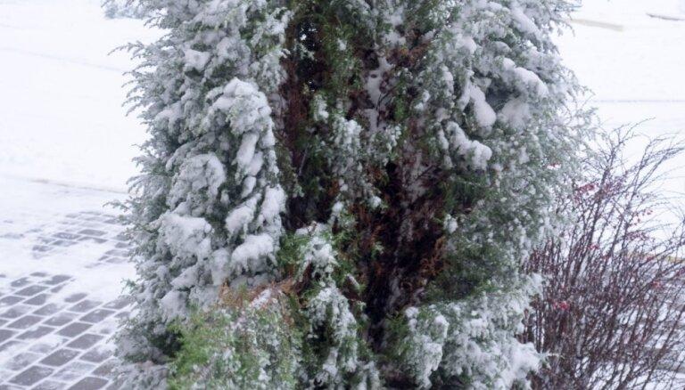 Ziemā sniegs no skujeņiem dārzā jāpurina nost, mudina speciālisti