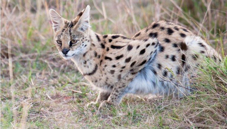 Servals – savvaļas kaķis, kurš lēcienā spēj notvert lidojošu putnu