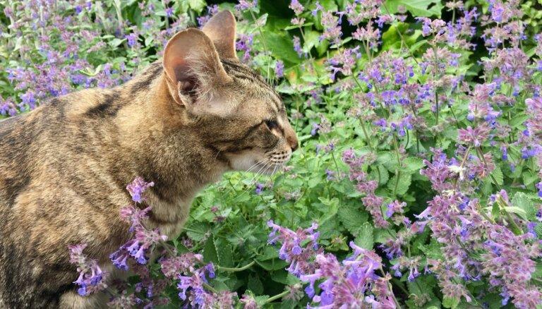 Ne tikai kaifam – pētījumā noskaidro interesantu kaķumētras papildfunkciju minču dzīvē