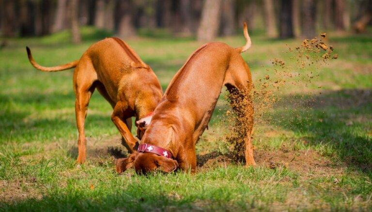 Kāpēc suns rok bedres