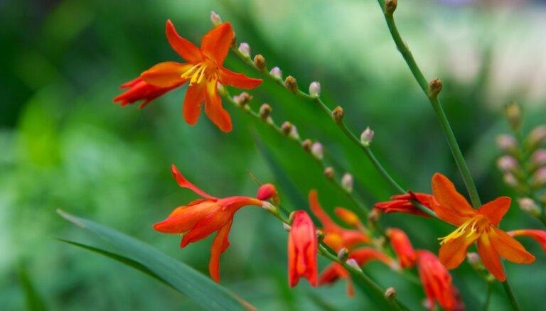 Frēziju un gladiolu līdzinieces – elegantās montbrēcijas