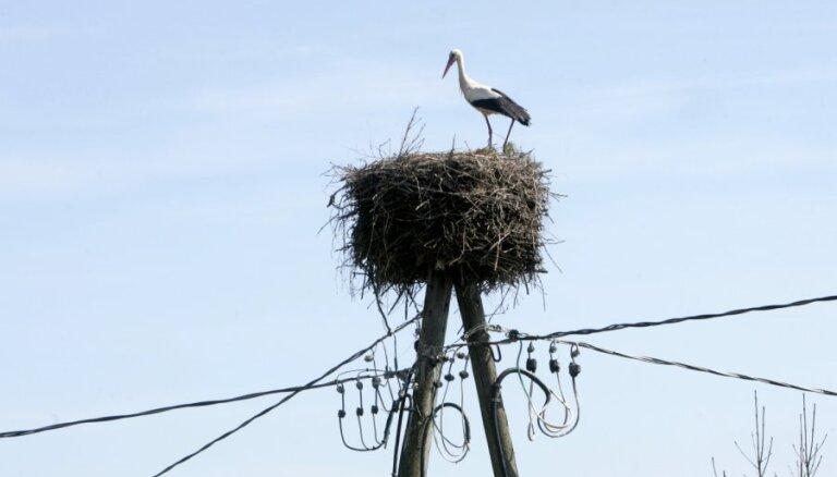 'Sadales tīkls' sadarbosies ar Latvijas Ornitoloģijas biedrību balto stārķu aizsardzībā