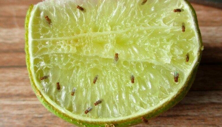 Kaitinošās augļu mušiņas jeb drozofilas: padomi, lai tās iznīdētu