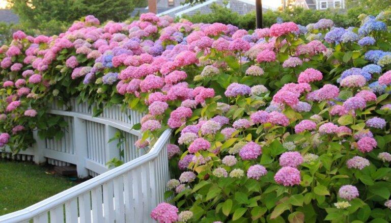 Karaliskās hortenzijas kā krāsains žoga risinājums: kādas šķirnes izvēlēties un kā kopt