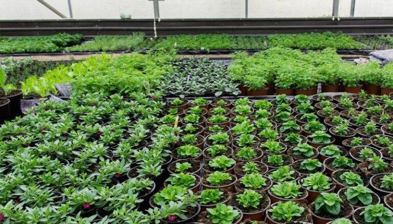 Kolas zāle un košļeņu piparmētra – kā Krimuldas pusē audzē eksotiskus garšaugus