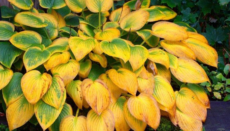 Ēnmīles hostas ziemas gaidās: lapas rudenī griezt vai atstāt?