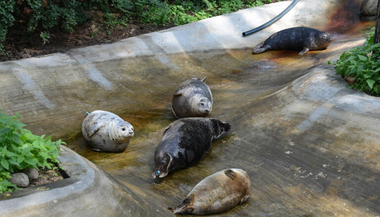 Divi pavasarī izglābtie ronēni dodas uz Belgradas zoo