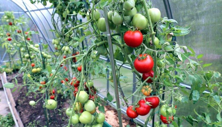 Darāmie darbi tomātu siltumnīcās: vāc ogas un sēj zaļmēslojumu