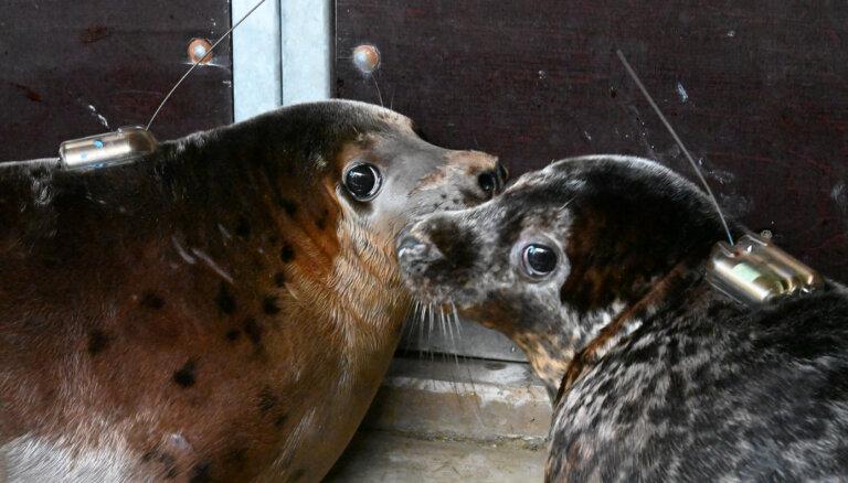 Pelēkie roņi Melluzis un Grīva atgriezīsies Baltijas jūrā