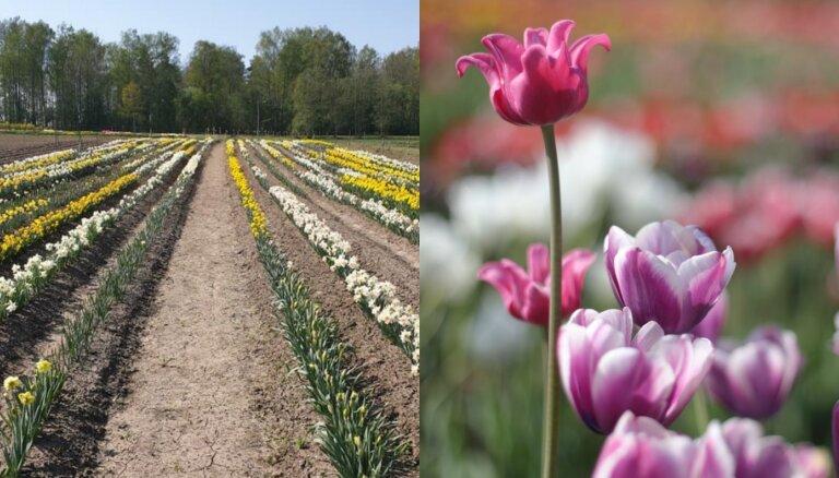 Foto: Daugmalē krāšņi zied tulpju un narcišu lauki