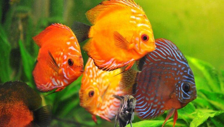 Piecas krāšņākās zivis saldūdens akvārijam