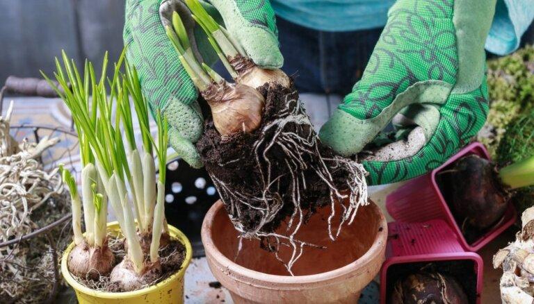No kopšanas līdz kompozīciju izveidei – padomu lādīte pavasara augiem