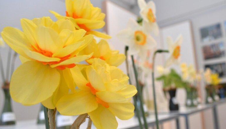 Foto: Pavasara ziedu krāšņums Latvijas Dabas muzejā