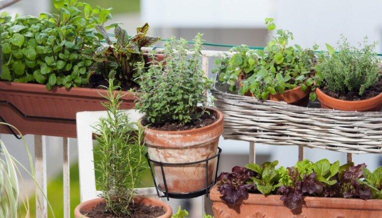 Mazdārziņš uz balkona vai palodzes – kā pareizi rūpēties par augiem