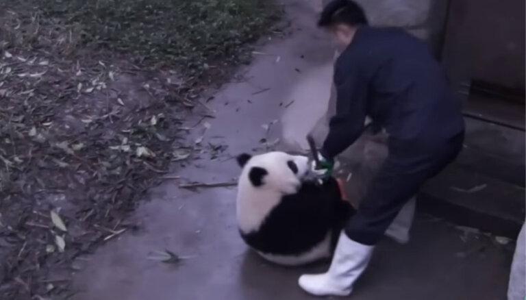 Video: Nešpetns pandu lācis gandrīz atņem kopējam slotu