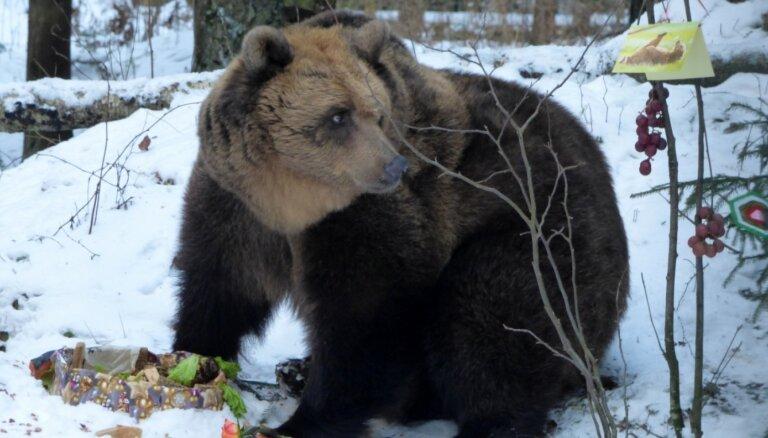 Знаменитой медведице Илзите из Лигатне исполняется 20 лет