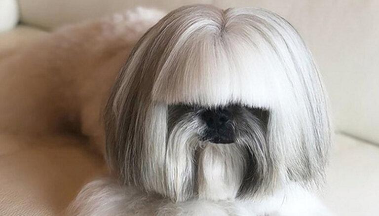 ФОТО: Похожая на Леди Гагу собака стала звездой интернета