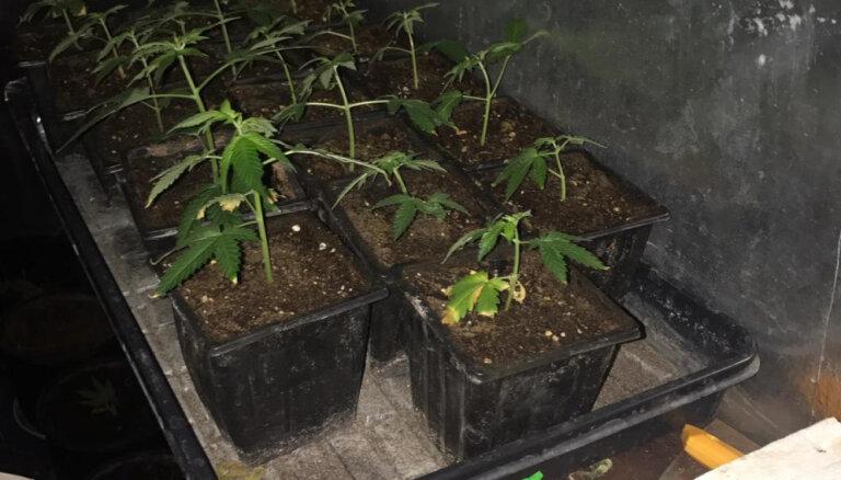 Talsu novadā aplaupa nelegālu marihuānas audzētavu