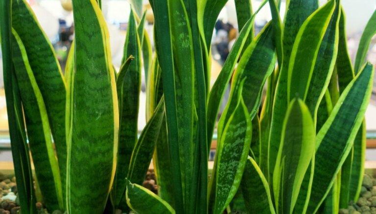Līdakastei rullējas lapas: kas kaiš augam